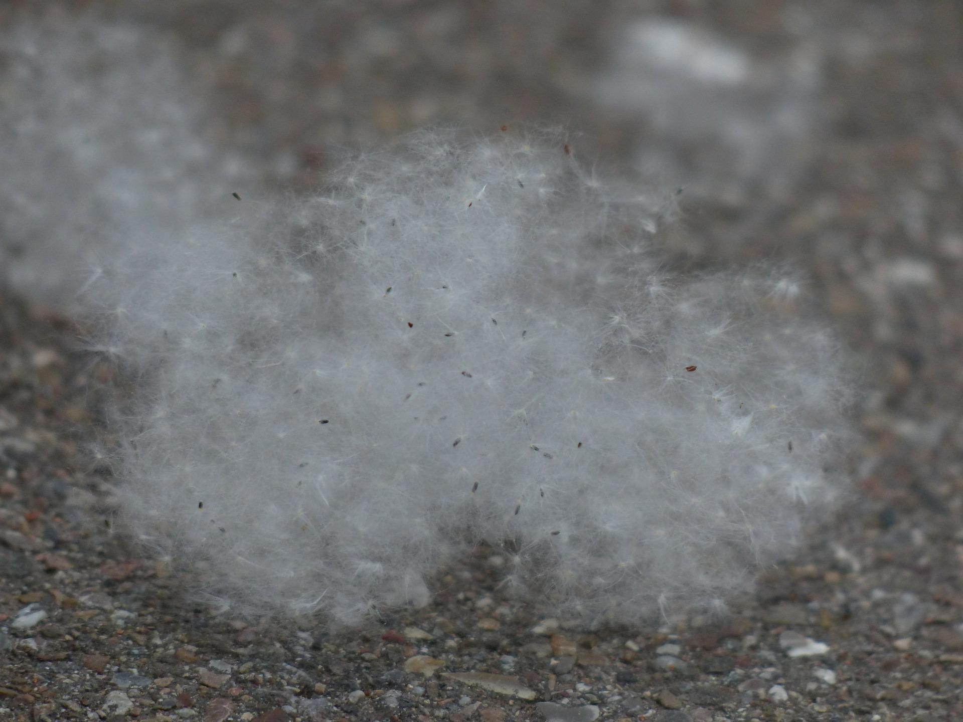 Poplar-seeds-143436 1920.jpg